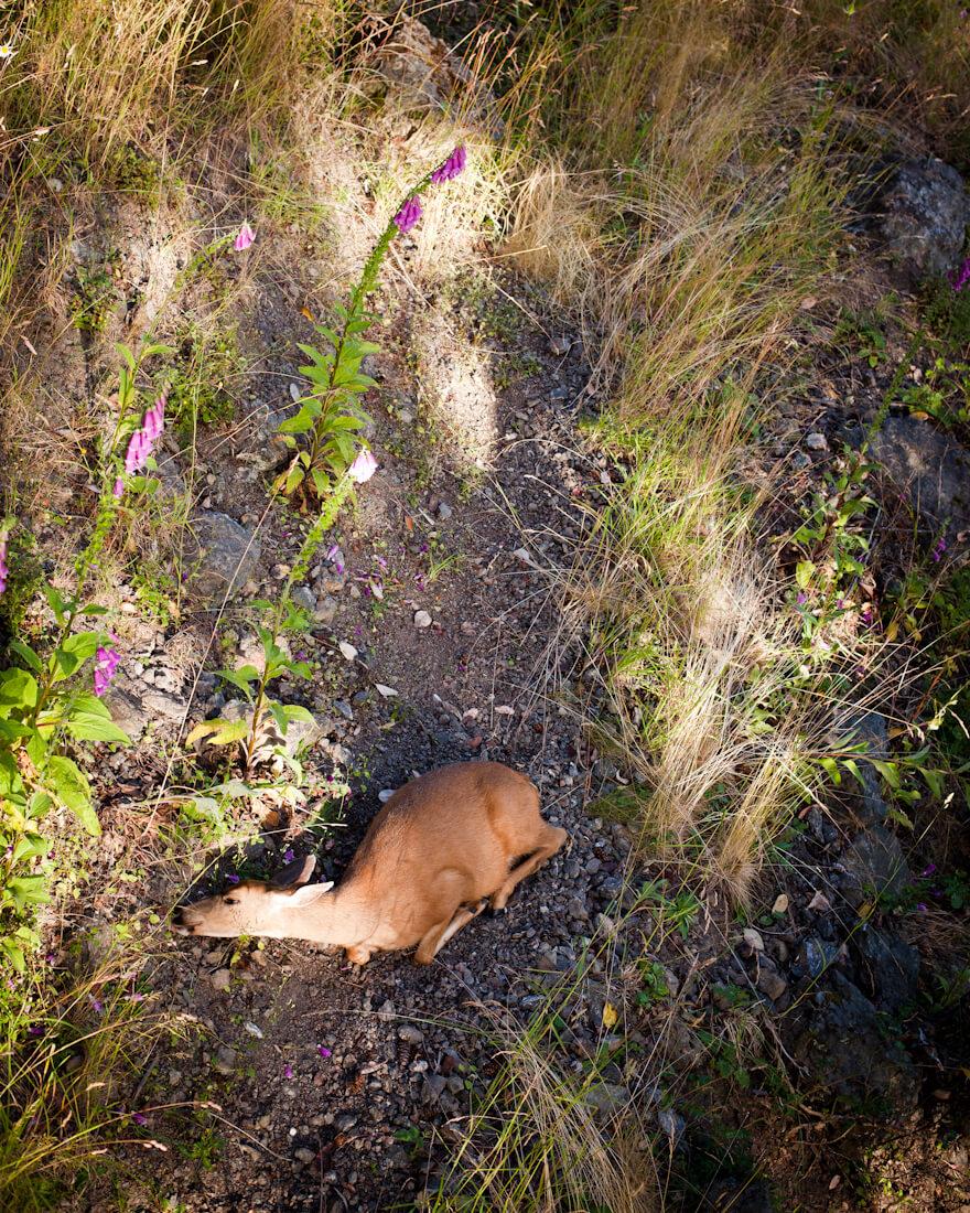 Deer, Orcas Island, WA